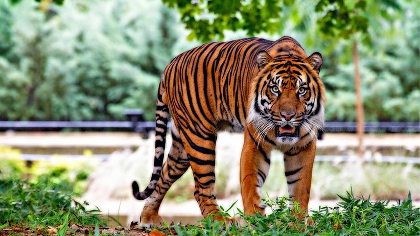 Dziki tygrys odwiedził mieszkańców wsi. Weterynarze powiedzieli, jaki był powód