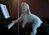 HIT! Pies gra na pianinie i śpiewa. To trzeba zobaczyć [WIDEO]
