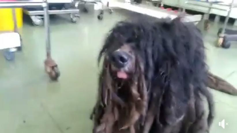 zaniedbany pies