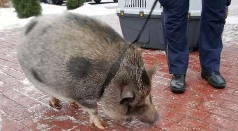 Pomylili ją z dzikiem. Wyrośnięta świnka wietnamska spacerowała po Warszawie