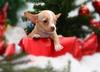Pies pod choinkę? Schroniska wstrzymują adopcje