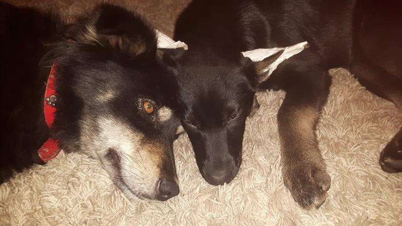 Nieznany sprawca zastrzelił dwa psy. Właściciel wyznaczył nagrodę