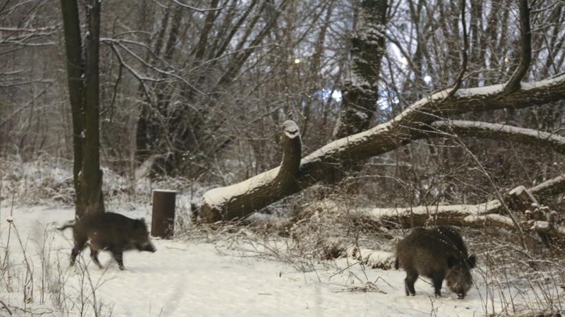 Atak dzika na pracowników leśnych i ekipę ratowniczą. Jedna osoba w ciężkim stanie