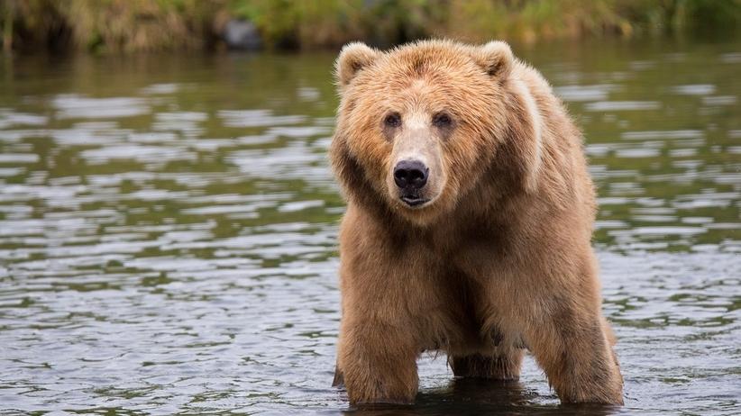 Bieszczady: niedźwiedzica zaatakowała mężczyznę