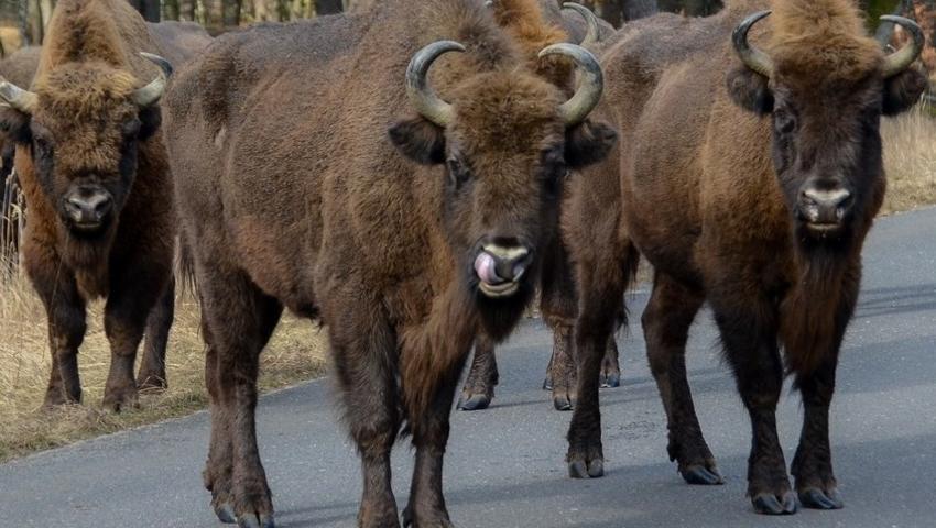 Stado żubrów zablokowało drogę wojewódzką. Mogły stwarzać niebezpieczeństwo