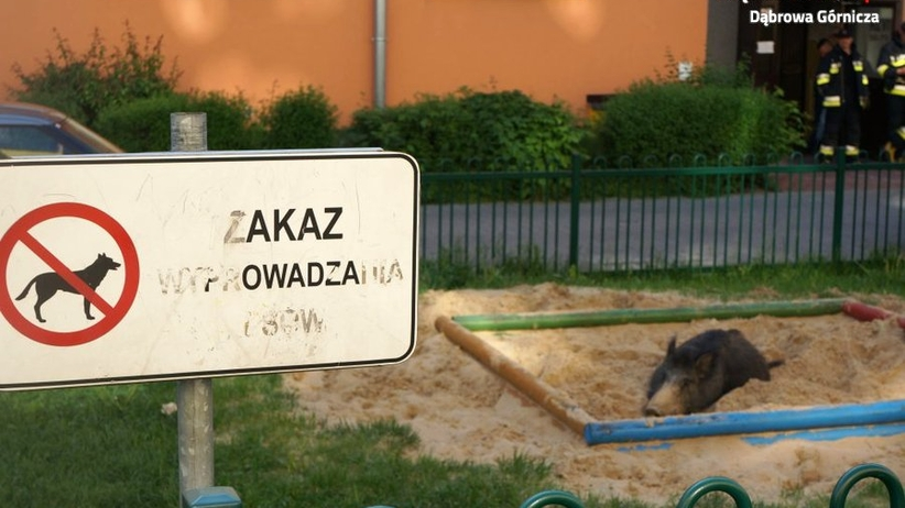 Pokaźny dzik zajął piaskownicę dla dzieci. Policjanci zajęli się zwierzakiem