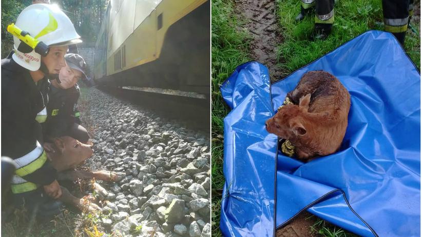 Dolnośląskie. Strażacy uratowali cielaka pozostawionego w tunelu