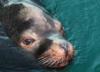W Bałtyku zaczynają masowo ginąć foki