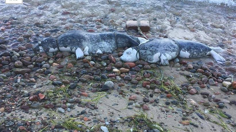 Drastyczne zdjęcia! Martwe foki z pętlą na szyi znalezione na plaży