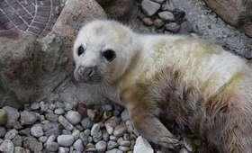 Polskie foki zostały matkami. Fokarium w Helu publikuje niesamowite wideo z porodu