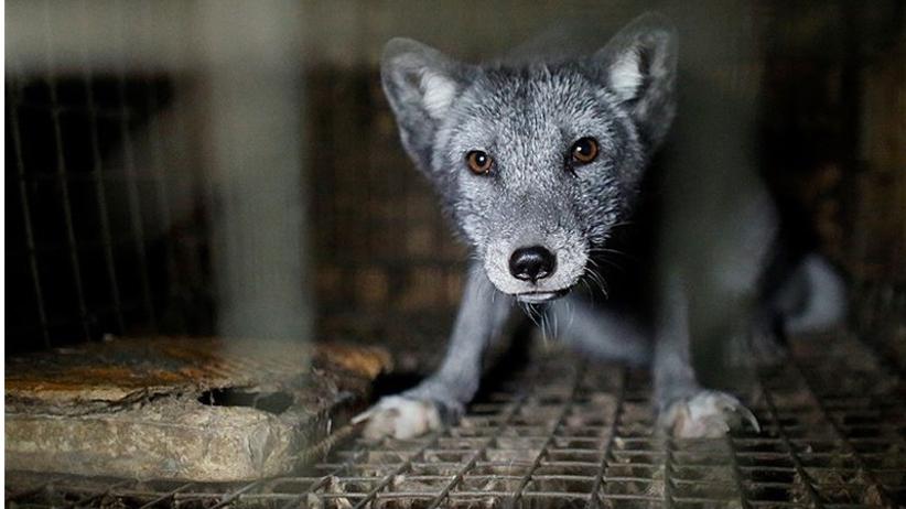 Horror młodych lisów na fermach. Tak wygląda hodowla od środka [GALERIA +18]
