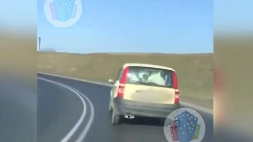 Wiózł krowę na tylnym siedzeniu auta. Niecodzienne sceny w Kaliszu [WIDEO]