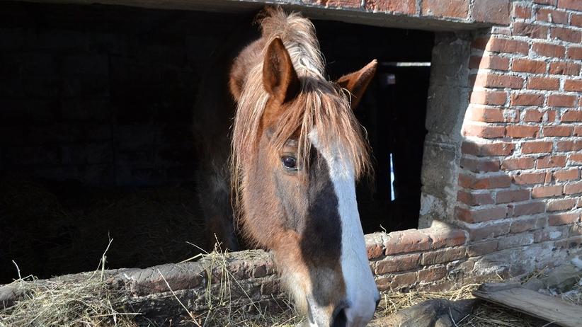 Kazimierz Dolny: zwierzęta żyjące w tragicznych warunkach odebrane z gospodarstwa