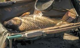 Zabijał ryby bez ogłuszania, tępą gilotyną. Sprzedawca karpi stanie przed sądem [WIDEO]