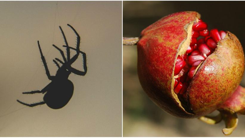 Łódź. W granatach kupionych w Lidlu znaleziono pająka