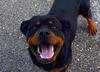 Rottweiler uratował 8-latkę przed atakiem obcych psów