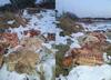 Ogromne ilości mięsa porozrzucane na polu. Prokuratura zbada sprawę makabrycznego znaleziska