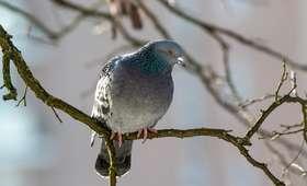 Przywiązał żywego gołębia do drzewa. Miał być przynętą dla kota