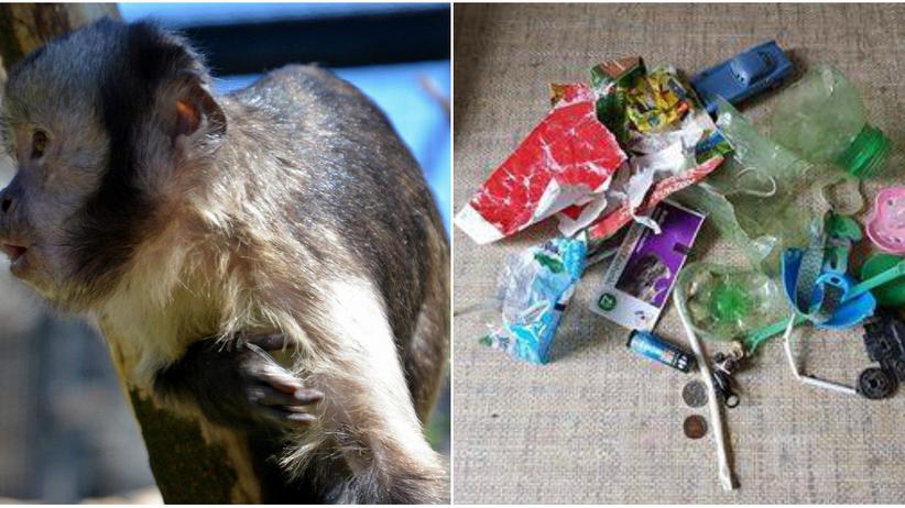 Małpka z warszawskiego zoo zachorowała po zjedzeniu śmieci