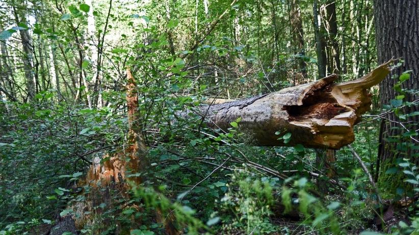 Minister środowiska uchyla decyzję ws. wycinki Puszczy Białowieskiej