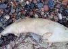 Nad Bałtykiem znaleziono morświna z rozciętym brzuchem