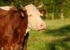 Nie żyje krowa-uciekinierka. Zmarła w trakcie transportu