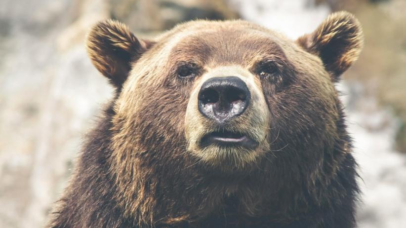 Niedźwiedzie nocami wchodzą do miast na Podhalu. Mieszkańcy przerażeni