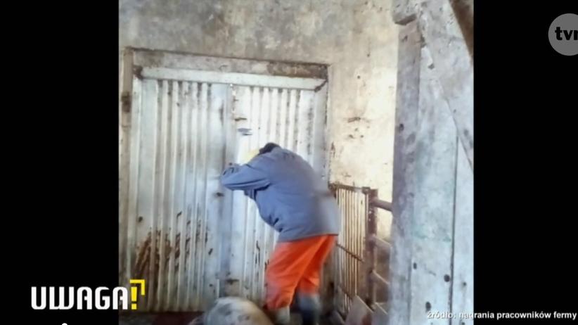 Okrutnie zabijał świnie i patrzył, jak powoli umierają. Wszystko zostało nagrane