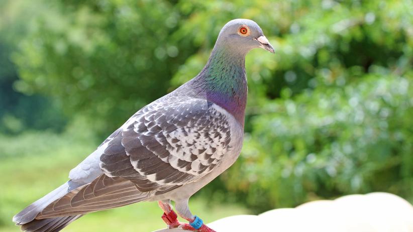 Opolskie. Złodzieje ukradli gołębie warte 400 tysięcy złotych