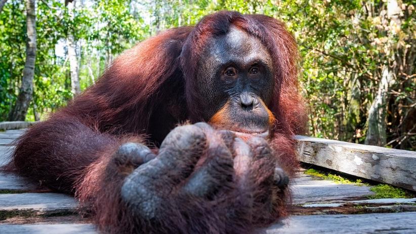 Orangutanica z gdańskiego ZOO namalowała obraz. Będzie lictyowany na WOŚP