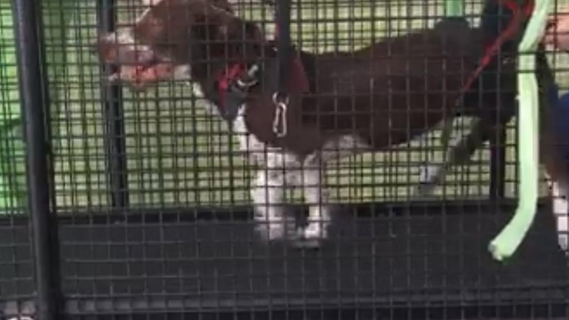 Pies Fijo na rehabilitacji w Portugalii. Został skatowany przez właściciela [WIDEO]