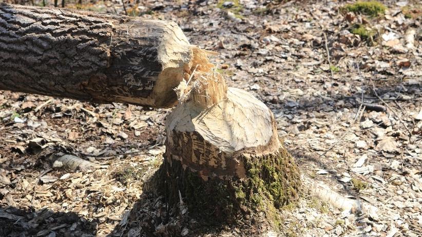 Drzewo ścięte przez bobry