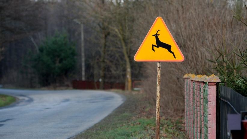 Policja podała dane o rosnącej liczbie wypadków z udziałem dzikich zwierząt