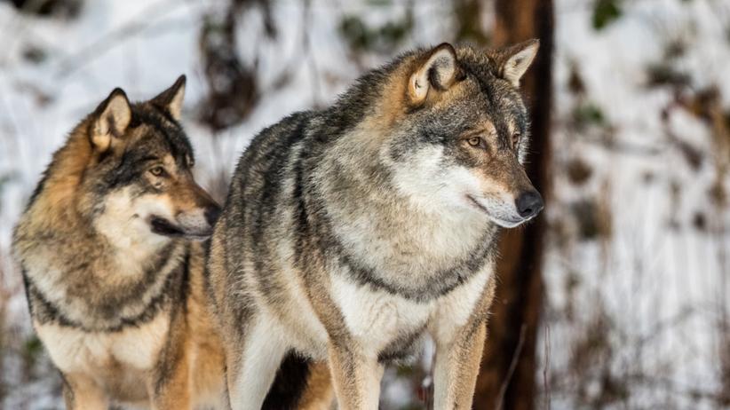 Wataha wilków wtargnęła na prywatną posesję i zagryzła 17 danieli