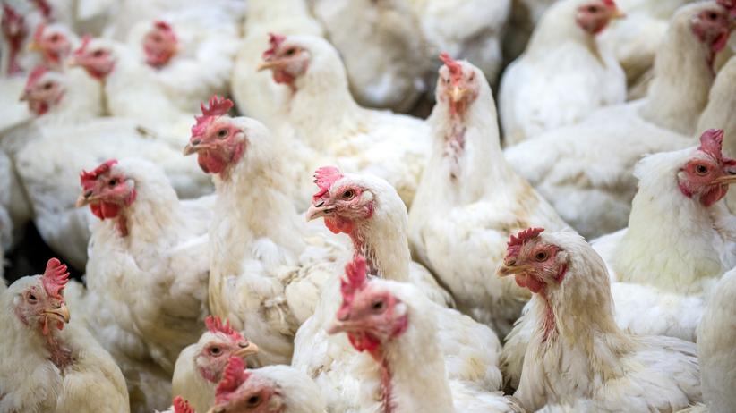 Salmonella w drobiu. Kurczaki ubijane były w Polsce