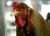 Skażone kurczaki mogły trafić do Polski
