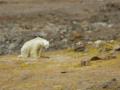 Niedźwiedź umarł z głodu przed kamerą. Internauci poruszeni do łez [WIDEO]