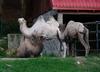 Wielbłąd uciekł z obwoźnego cyrku. Szukano go przez pół godziny