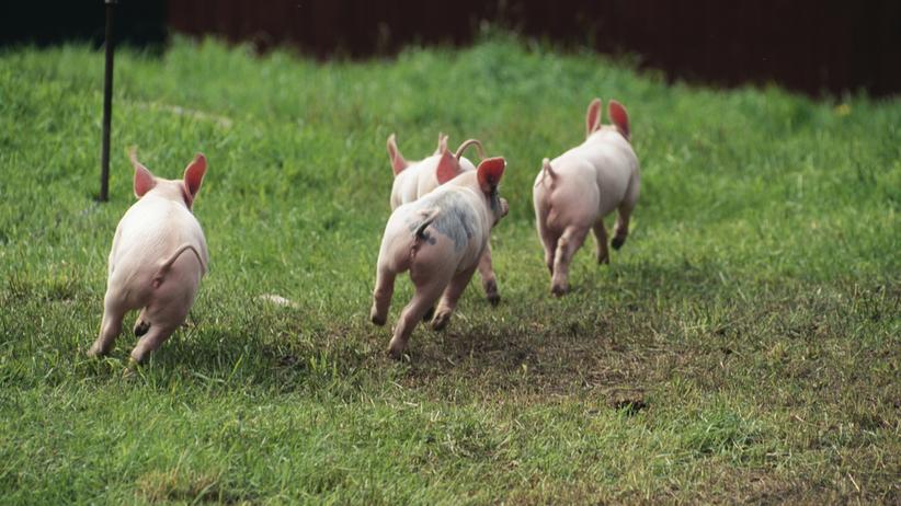 170 świń uciekło z transportu. Łapali je policjanci i mieszkańcy