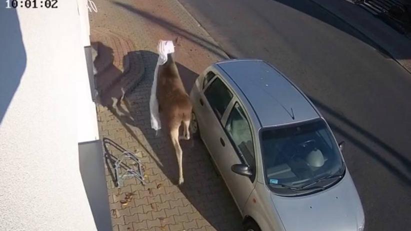 Łoś wskoczył do domu przez okno. Lokatorka dostała zawału