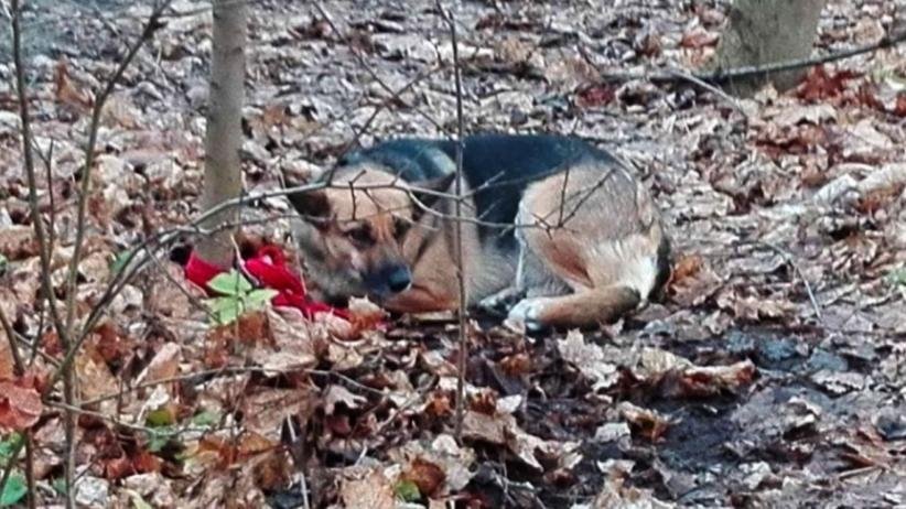 33-latka przywiązała psa w lesie do drzewa. Policjantom udało się ją namierzyć