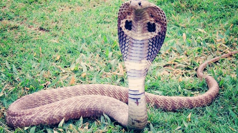 14-latek ukąszony przez jadowitą kobrę. Tragiczny finał [FOTO]