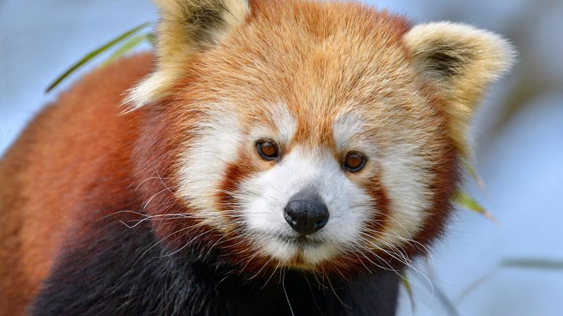 Panda ruda uciekła z zoo. Policja apeluje, by się do niej nie zbliżać