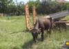 Ciężarna krowa Penka skazana na śmierć. Złamała unijne prawo