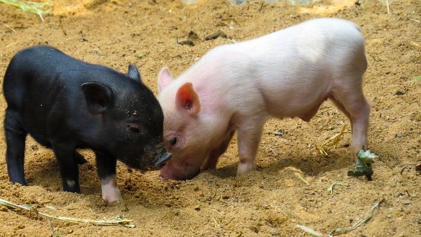 Sztuczna inteligencja trafia do obory. AI powie rolnikom, czy kaszląca świnia jest chora