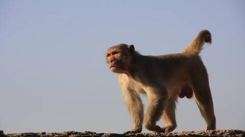 Małpa wyrwała dziecko z rąk matki. Niemowlę nie żyje