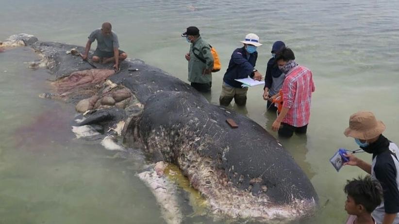 Martwy kaszalot wyrzucony przez morze. Połknął 6 kilogramów plastiku!