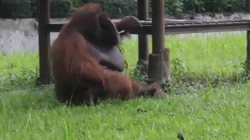 Indonezja: ZOO w Bandung w ogniu krytyki. Orangutan pali papierosa [WIDEO]