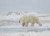 Niedźwiedź polarny zabił mężczyznę