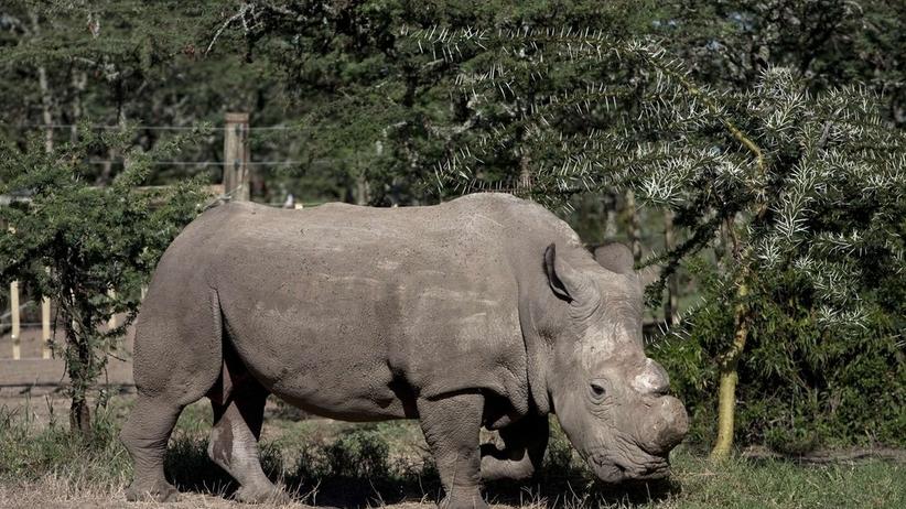 Kenia: Nie żyje Sudan, ostatni samiec nosorożca białego północnego